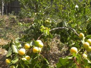 apricots-2014-lores