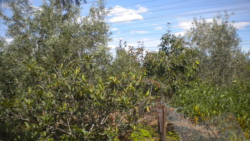 pears-loquats-olives-2014-lores